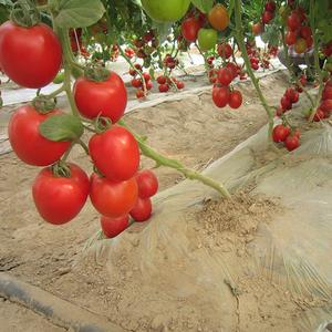 Elegante doce melhor tomate de sementes híbridas de efeito estufa e em campo aberto