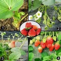 Карликовое дерево Strawberry Seeds 1 50 DIY 5073