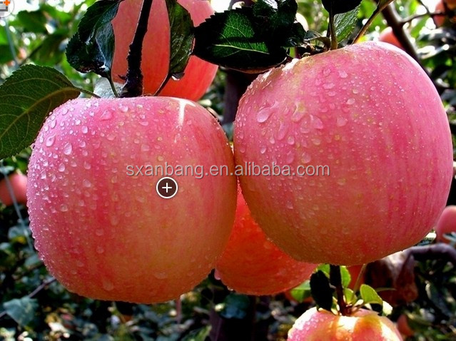 high land organic Fuji apple in high quality and best competitive price