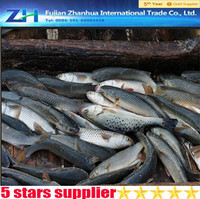 New season frozen flying fish grey mullet fish for sale