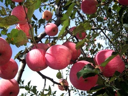 cheap stock 2015 bulk bulk fresh apples