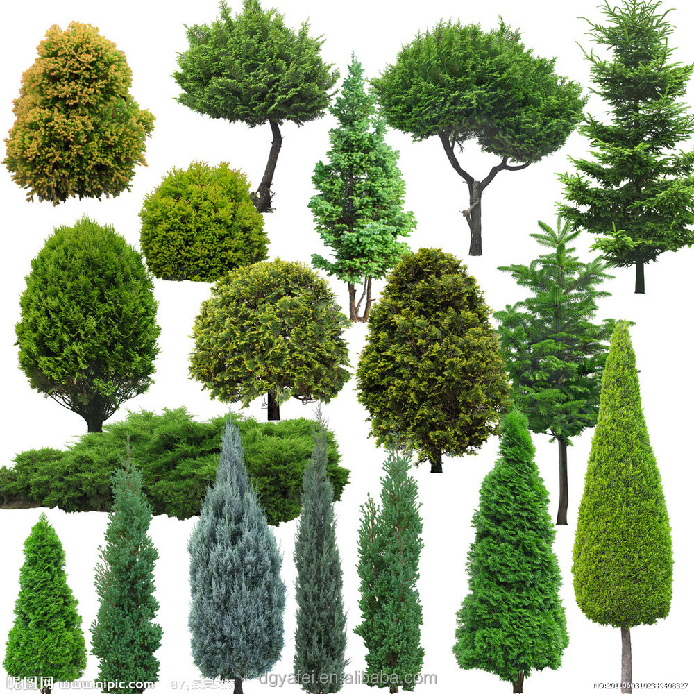 types of evergreen trees for privacy, Natural flower