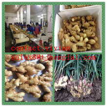 buy chinese mature ginger/dried ginger supplier/exporter