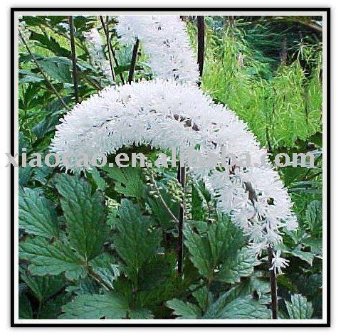 100% natural Black Cohosh extrato 10:1 da erva medicina por fabricante