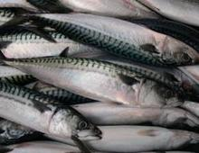 Super Quality Fresh Frozen Horse Mackerel,Atlantic Mackerel Available