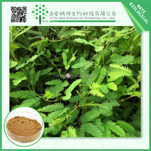 Gold Supplier China Extract / natural mimosa pudica p.e. 5:1