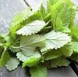 Lemon Balm Leaf Extract
