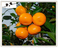 Bulk Fresh Baby Mandarin Fruit for Bangladesh Market