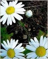 Natural Matricaria Chamomilla Extract