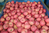 Fuji Apple Exporter in China Red Delicious Mature Apple Fruit from Yantai