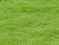 Good quality bermuda grass seeds MHgs00025