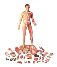 SE32490 the dissection model of whole body muscles (superior muscles and visera can take-down), best selling products