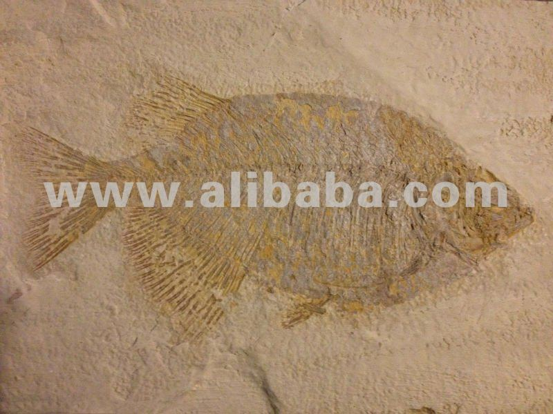 Exotic Natural Stone : Exotic natural stone tile fish fossils buy