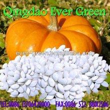 chinese snow white pumpkin seeds 13cm 2012crop