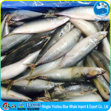 BQF Frozen seafoods of Pacific Mackerel WR to egypt
