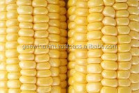 New crop 2014 corn maize for uk