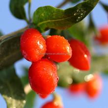 Beneficial goji berry/Goji berry for longevity/bulk goji bery/ dried fruit goji berry