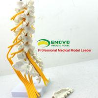 [Sample GS-19] New Desktop Lumbar Spinal Anatomical Education Models for Medical Gift
