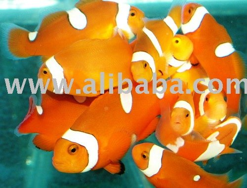 Clown fish buy clown fish product on for Clown fish price