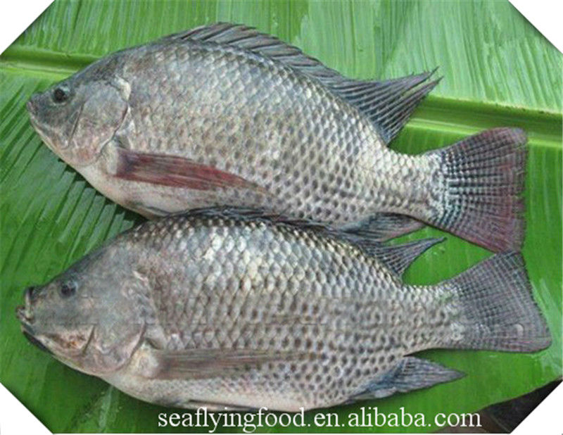 Top quality frozen tilapia fish of frozen fish view for How to make tilapia fish