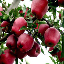 China round shape Huaniu apple Red delicous apple for promotion