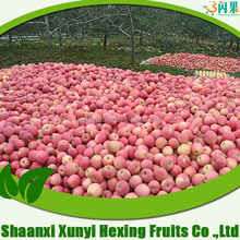 biggest exporter and factory chinese fresh fruit red Fuji apple