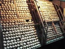 Fresh Fertile Chicken Eggs