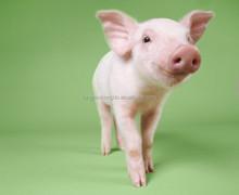 bulk pig feed