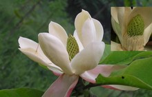 Magnolia bark extract with Magnolol