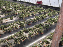 strawberry plantation PP weed control fabric help you anti weed and cost savings