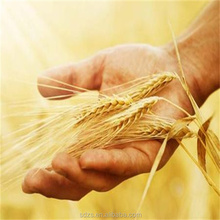 bulk animal feed wheat with best price