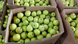new crop Competitive price for fresh green delicious apple