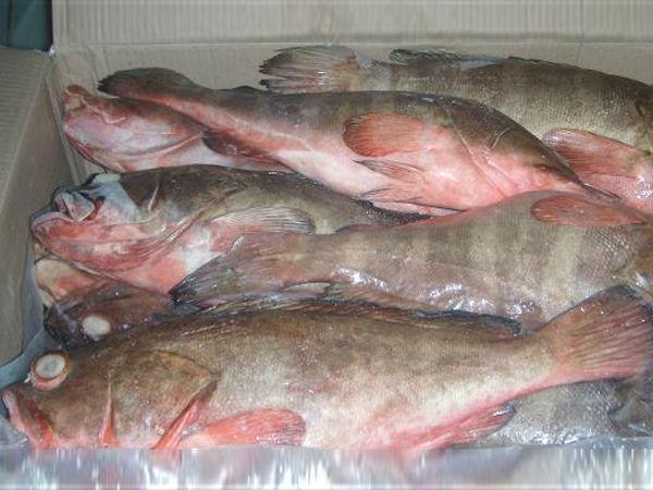 pescado mero fresco congelado para la venta