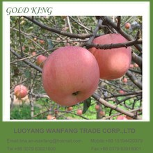 Chinese Fuji Apple Fruit Wholesale Red Mature Apple