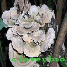 Hot sale coriolus mushroom extract powder