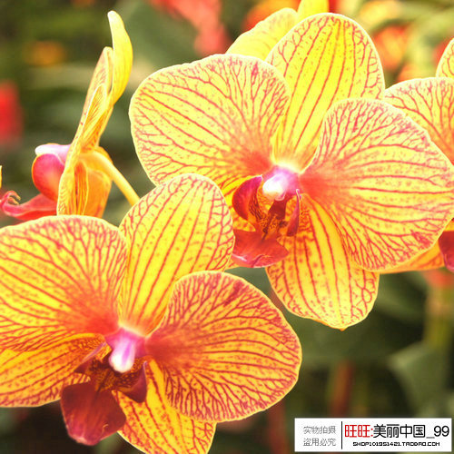 seeds butterfly orchid Yellow Butterfly Orchid