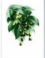 Fructus Chebula.jpg
