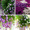 Brachycome Annual 5600 Seed Garden Beautiful Elegant Balcony Purple Blue White