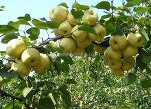 pear fresh pear canned pear