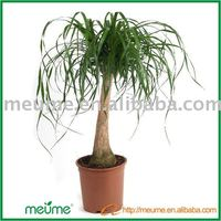 Nolina Recurvata Indoor Bonzai (21cm pot) Palm Tree Trunks