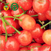 fresh sweet cherry export