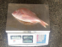 Best Quality Fresh Frozen Whole Round Red Seabream Fish For Market