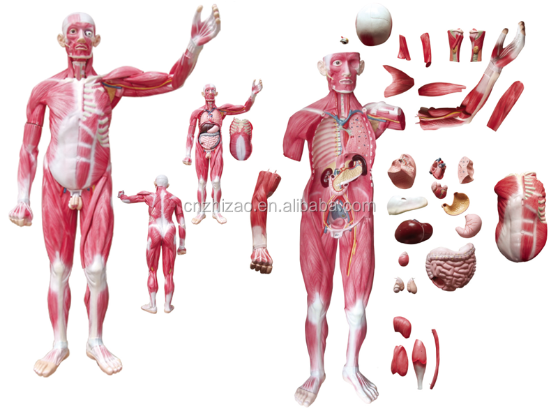 175cm Human Whole Body 29 Parts Viscera Muscles Anatomy Model Buy