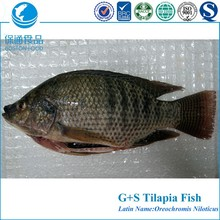 Best Fresh Gutted Scaled Whole Tilapia Fish