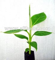Banana Tissue culture plant Grand 9