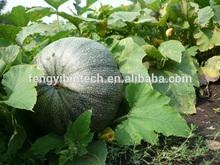 semente de abóbora óleo de alta qualidade