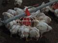 Las aves de corral de alimentación del sistema, barrena sistema de piensos para aves de corral