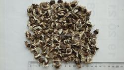 Moringa Seeds/La Mu Zi/Moringa oleifera Lam.