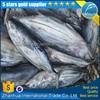 New arrival whole round fresh frozen skipjack tuna seafood fish