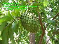 100% Natural Graviola fruit soursop